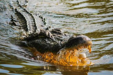 What Is The Difference Between An Alligator & A Crocodile?